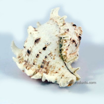 Spikey Sea Shell